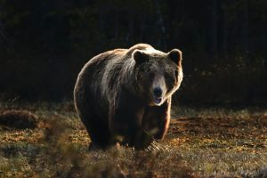 Read more about the article Can a Bicycle Outrun a Bear?